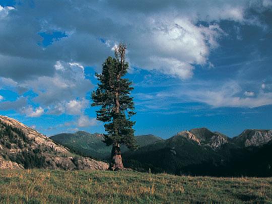 Swiss stone pine - Zirbe